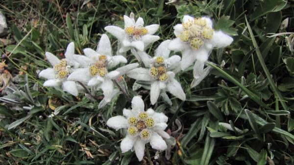 Alp-Flora